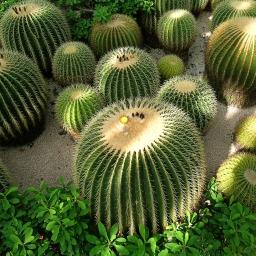 kaktuz